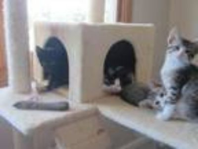 Adopt We need temporary homes - can you help? a Domestic Short Hair