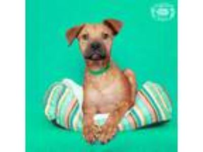 Adopt Hercules a Brown/Chocolate Boxer / Shepherd (Unknown Type) dog in