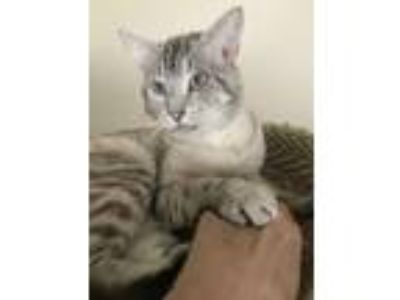 Adopt Sammy a Cream or Ivory (Mostly) Siamese / Mixed (short coat) cat in Los