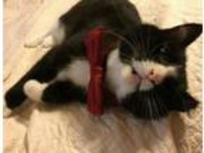 Adopt Rutherford a Domestic Short Hair