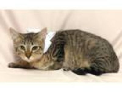 Adopt Sasha a Domestic Short Hair