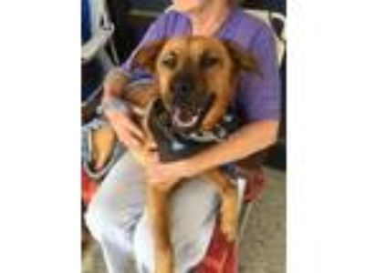 Adopt JOSIE a Brown/Chocolate - with Tan Shepherd (Unknown Type) / Mixed dog in