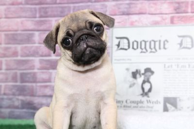 Pug PUPPY FOR SALE ADN-95891 - Duke Playful Male AKC Pug