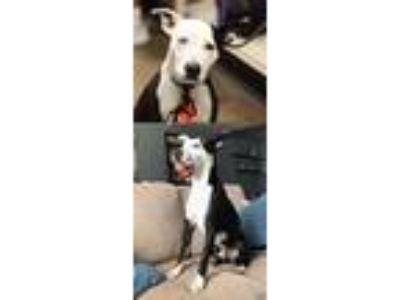 Adopt Party Paul/Petey a Australian Shepherd / American Pit Bull Terrier / Mixed