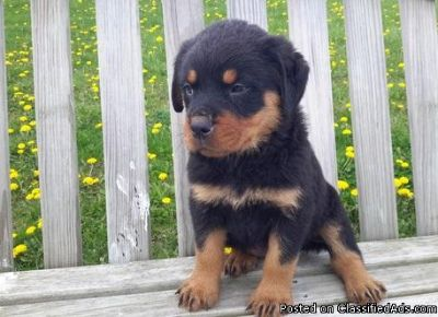 kkjjhsnbhbg Exceptional Rottweiler Puppies Young Babies Available