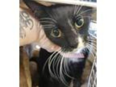 Adopt Found stray: Phoebe a All Black Domestic Shorthair / Mixed cat in