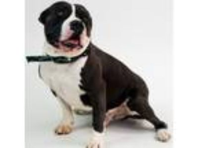 Adopt Chunky a Pit Bull Terrier, Mixed Breed