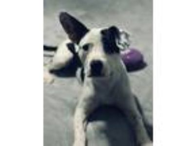 Adopt Spanky D4543 a Terrier, Pit Bull Terrier