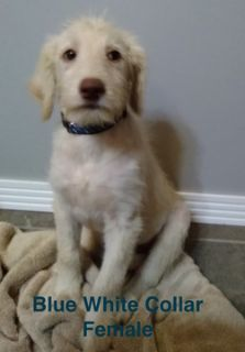 Labradoodle PUPPY FOR SALE ADN-104148 - Labradoodle F1B Female