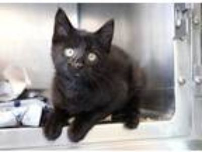 Adopt Whopper a All Black Domestic Shorthair / Domestic Shorthair / Mixed cat in