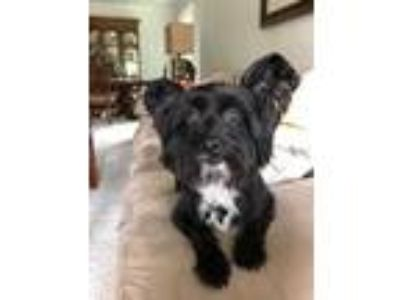 Adopt Eli a Black Silky Terrier / Mixed dog in Roselle, IL (25656491)