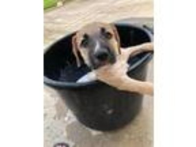 Adopt Luna a Tan/Yellow/Fawn - with Black Labrador Retriever / Mastiff / Mixed