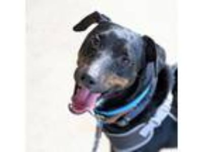 Adopt Turner a Black Doberman Pinscher / Mixed dog in Atlanta, GA (25625700)