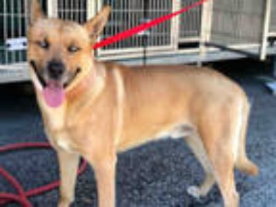 Adopt a Brown/Chocolate Husky / American Pit Bull Terrier / Mixed dog in Moreno