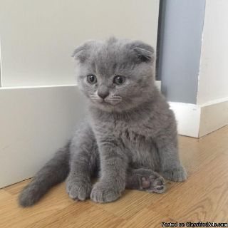 Smart scottish fold kitten