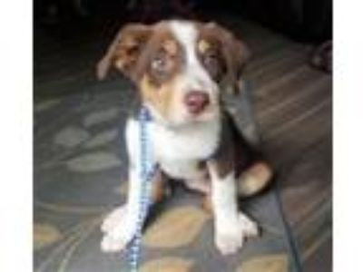 Adopt Madison a Australian Shepherd, Australian Cattle Dog / Blue Heeler