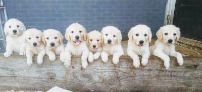 AKC English Golden Retriever Puppies