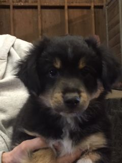 Miniature Australian Shepherd PUPPY FOR SALE ADN-77497 - Mini Aussie Female Puppy