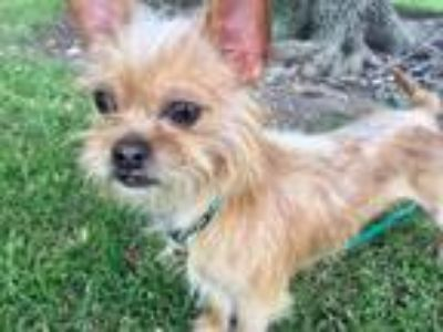 Adopt Clooney a Tan/Yellow/Fawn - with White Brussels Griffon / Mixed dog in