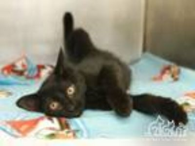 Adopt STYMIE a Domestic Short Hair