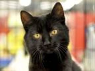 Adopt Magic a Domestic Short Hair