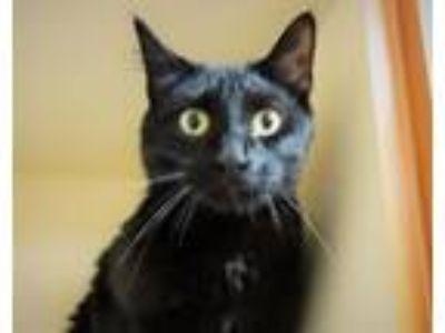 Adopt ZERK a Domestic Shorthair / Mixed (short coat) cat in Little Rock