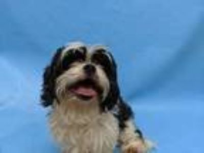 Adopt Gizmo a Black Cavalier King Charles Spaniel / Shih Tzu / Mixed dog in Coon