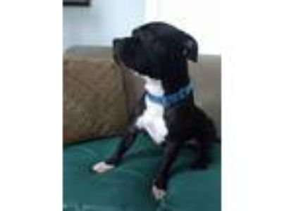 Adopt Dollop a Pit Bull Terrier