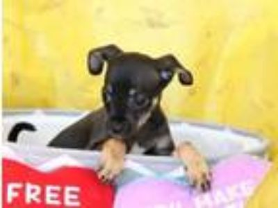 Adopt Breezy a Miniature Pinscher