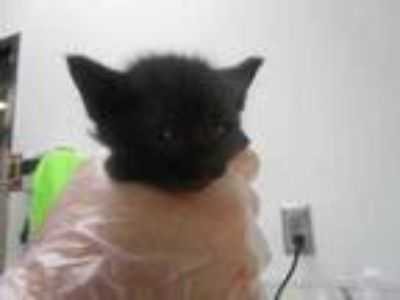 Adopt Aubrie a All Black Domestic Shorthair / Domestic Shorthair / Mixed cat in