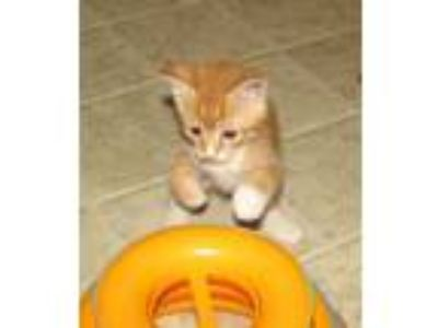 Adopt Bricia (baby girl) a Orange or Red (Mostly) Domestic Shorthair / Mixed