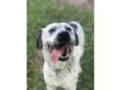 Adopt Marshall a White Dalmatian / American Pit Bull Terrier / Mixed dog in Fort