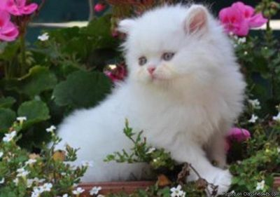 Two Persian Kittens Available