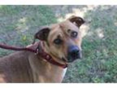 Adopt *SHELLY a Tan/Yellow/Fawn Basset Hound / American Pit Bull Terrier / Mixed