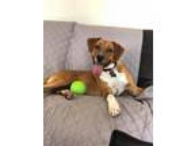 Adopt Patricia a Brown/Chocolate - with White Labrador Retriever / Mixed dog in
