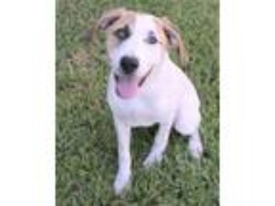 Adopt Miss Santa a Pointer, Mixed Breed