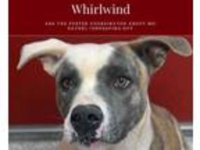 Adopt WHIRLWIND a White American Staffordshire Terrier / Mixed dog in Tucson