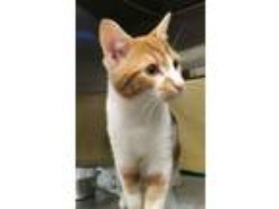 Adopt Cheesecake a Domestic Shorthair / Mixed (short coat) cat in Pittsburgh