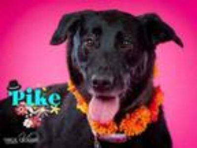Adopt PIKE a German Shepherd Dog, Mixed Breed
