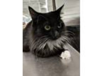 Adopt Mama Mia a Black & White or Tuxedo Domestic Mediumhair / Mixed cat in