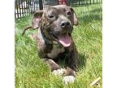 Adopt Hops a Black American Pit Bull Terrier / Mixed dog in Washington