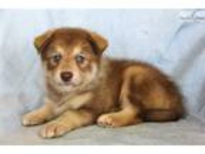 Puppy - Dogs for Adoption Classifieds in Keller, Texas - Claz org