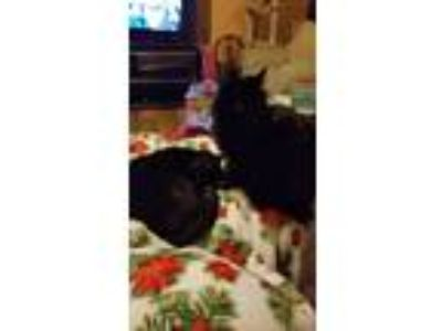 Adopt Olaf a Black (Mostly) Domestic Longhair / Mixed cat in Macomb