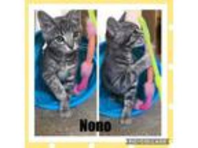 Adopt Nono - In Foster a Gray, Blue or Silver Tabby Domestic Shorthair / Mixed