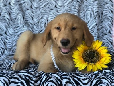 Golden Retriever PUPPY FOR SALE ADN-94047 - Lizzy
