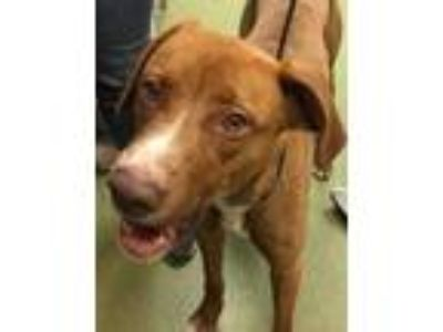 Adopt ZOE a Red/Golden/Orange/Chestnut Pointer / Retriever (Unknown Type) /
