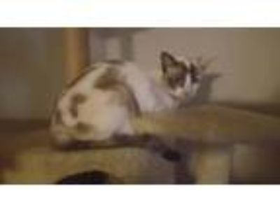 Adopt Cleo a Domestic Short Hair, Siamese