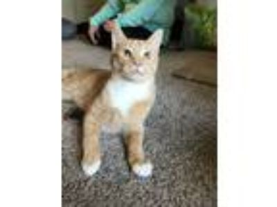 Adopt Griffin a Tabby, Domestic Short Hair