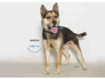 Adopt a Black - with Tan, Yellow or Fawn German Shepherd Dog / Mixed dog in