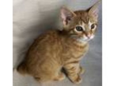 Adopt Alvin (kitten, in foster)!! a Domestic Short Hair